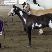 BZD Silvr Shado Dancr as a Yearling