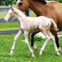 A perlino Foal