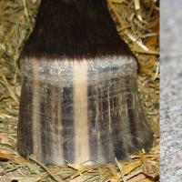 Hoof Striping
