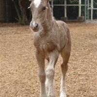 silver black foal