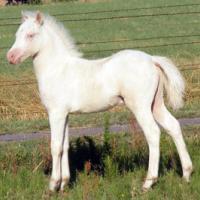perlino foal (horse)