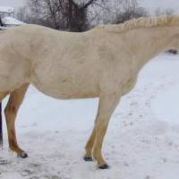Palomino in winter coat