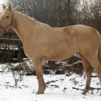 palomino thoroughbred stallion