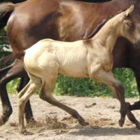 smoky brown foal