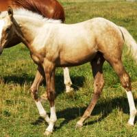 Palomino Thoroughbred colt