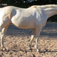 cremello thoroughbred stallion