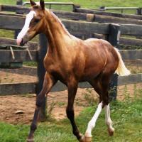 sooty palomino filly (horse)