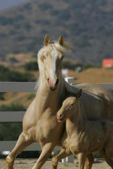 cream and pearl horse with confirmed perlino foal