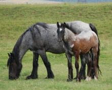 black or blue roan horse
