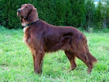 recessive red colored dog