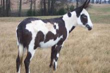 Spotted black donkey