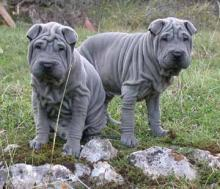 a pair of black dilute (blue) colored dogs