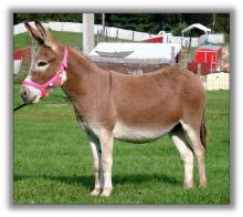 Red Dun donkey