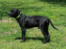 dominant black colored dog
