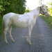 Smoky cream horse