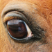 horse with white sclera
