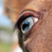blue champagne foal eye