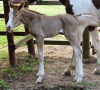 Gold champagne foal