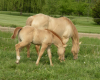 gold champagne dun mare and foal