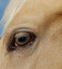 Gold Champagne filly eye