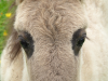 Brown eyed foal (horse)