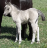 The Promise Grulla Filly
